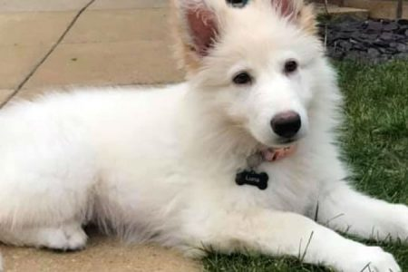 Luna the White German Shepherd