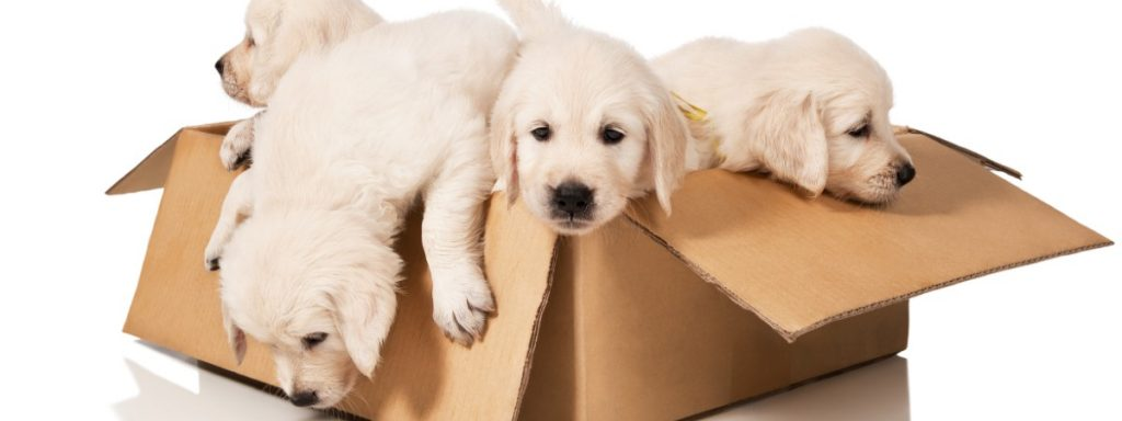 Lucy's Law: what it means for buying and selling puppies