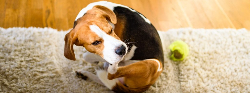 Has your dog got itchy skin? How to stop them scratching