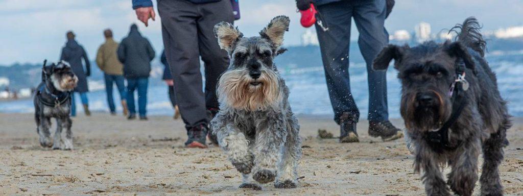 Walk your dog 'around the globe' and help raise money for Schnauzerfest