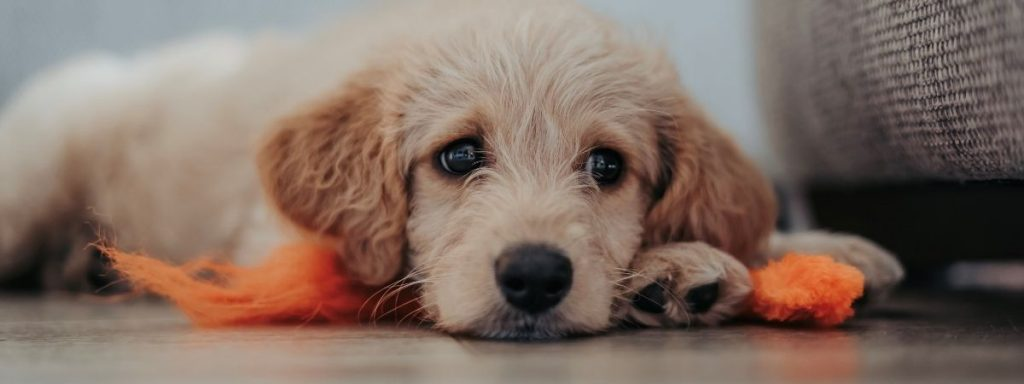 New e-learning course to prepare people for dog ownership